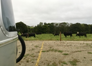 Lots of cows around us for company