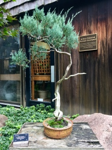 Another tree from bonsai collection