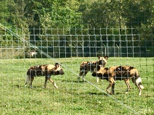 African Painted Dogs waiting on feeding time