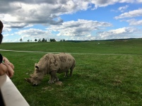 Up close and personal with a very large, powerful rhinoceros