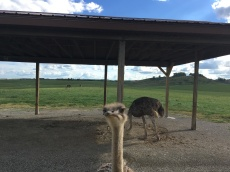 This ostrich was almost too friendly for Bonnie