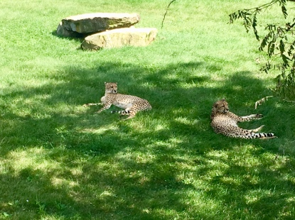 Pair of lazy cheetas staying cool in the shade