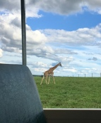 This giraffe decided to race our tour bus